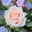 Stock Photo: Big pale pink rose