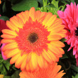 Multicolored gerbera arrangement in vivid colors — Stock Photo #9926728