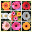 Gerbera Collage — Stock Photo