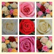 Mixed rose collage — Stock Photo