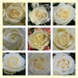 White rose collage — Stok fotoğraf
