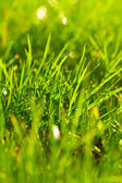 Young juicy green grass — Stock Photo