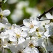 Cherry blossoms — Stock Photo #10527928