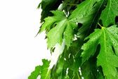 Green fresh maple leaves — Stock Photo