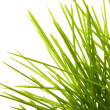 Young juicy green grass — Stock Photo #10554058
