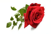 Beautiful red rose on a white background — Stock Photo