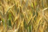 Orecchie di grano — Foto Stock