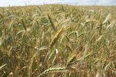 Orejas de grano — Foto de Stock