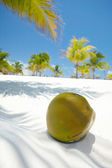 Palmier avec une noix de coco — Photo