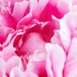 Stock Photo: Pink peony flower