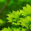 Beautiful green leaves — Stock Photo