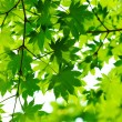 Beautiful green leaves — Stock Photo #9150968