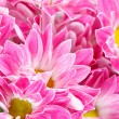 Chrysanthemum Flowers — Stock Photo #9226446