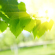 Solar beam, green leaves — Stock Photo
