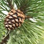 futro drzewo gałąź z owoców — Zdjęcie stockowe