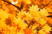 Herfst, gele bladeren — Stockfoto