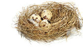 Egg in a real nest — Stock Photo