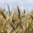Foto Stock: Grain ears