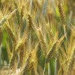 Grain ears — Stock Photo #9842511