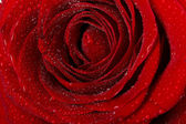 水滴を持つ暗い赤いバラのマクロ画像。近くに極端な- — ストック写真