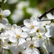 Cherry blossoms — Stock Photo #9892840