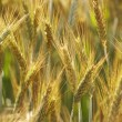 Grain ears — Stock Photo #9963237