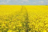 žluté pole — Stock fotografie
