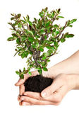 Young tree in hands, business concept, ecology. — Stock Photo