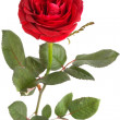 Stock Photo: Rose on a white background