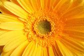 Krásný žlutý květ slunečnice closeup — Stock fotografie