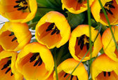 Yellow tulips closeup — Stock Photo