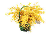 Mimosa bouquet isolated. — Stock Photo