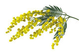 Mimosa branch isolated. — Stock Photo