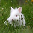 Royalty-Free Stock Photo: Dwarf white bunny in green grass