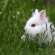 Dwarf white bunny — Stock Photo