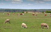 Zwierząt gospodarskich w pastwiska — Zdjęcie stockowe