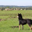 Sheepdog with herd of sheep in background - Stock Photo