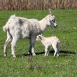 Just born little goat — Stock Photo #10405040