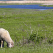 Lamb on pasture — Stock Photo #10405072