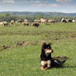 Sheepdog and herd of sheep in background — Stock Photo