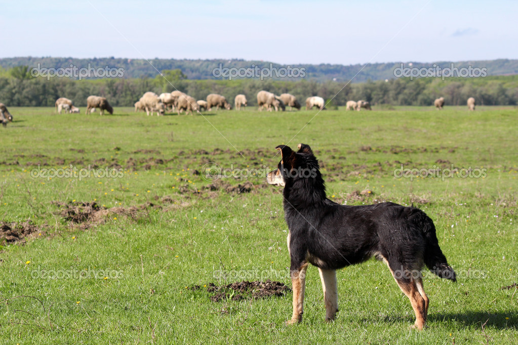 Sheepdog with herd of sheep in background — Stock Photo #10404719