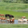 Farm animals on river — Stock Photo