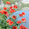 Poppy flower spring scene — Stock Photo