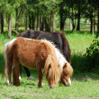 Pony horses in pasture — Stock Photo