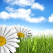 A perfect day - daisies in the meadow — Stock Photo