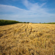 Golden wheat field after harvest — Stock Photo