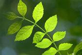 Leaves in spring — Stock Photo