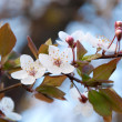 Blossoms — Stock Photo #8164693