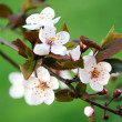 Blossom — Stock Photo #8164769