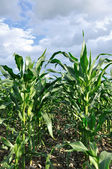 Zelené kukuřičné pole — Stock fotografie